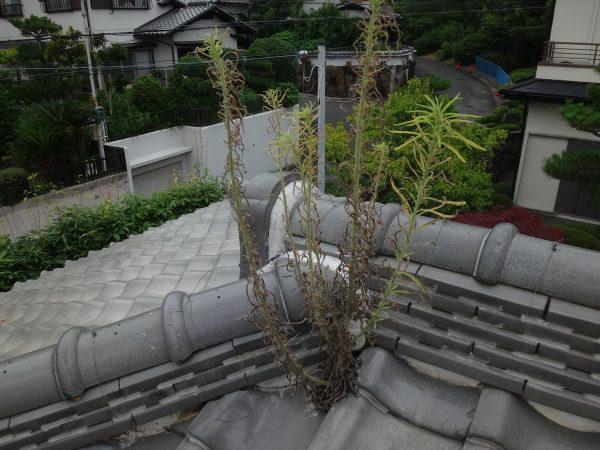 棟瓦から雑草が生えていますサムネイル