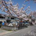 事務所の前にある桜が見頃ですサムネイル
